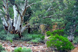 Picture relating to Aroona - titled 'Aroona bush scene'