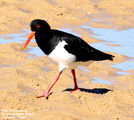 Birds of New South Wales - #9 – Sawtell Region Pied Oystercatcher, Boambee Creek Beach, Toormina, NSW