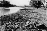 Picture relating to Cunnamulla - titled 'Carcasses of animals which died during drought at Cunnamulla, Queensland, ca. 1902'