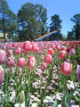 Picture relating to Parkes - titled 'Amazing tulip flower displays at Floriade 2008'