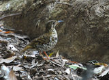 Picture relating to Coffs Harbour - titled 'Brown quail'