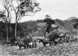 Picture relating to Mackay - titled 'Working in the cane fields, Mackay'