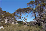 Picture relating to Charlottes Pass - titled 'Charlottes Pass  - Tree Tops- Kosciuszko National Park.'