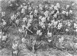 Picture relating to Canberra - titled 'Hyacinths in flower in the plantation outside the Hotel Canberra'