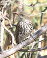 Birds of Queensland - #5 � Goondiwindi / Dalby Region