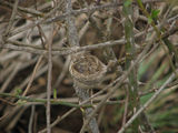 Picture relating to Yass - titled 'Grey Fantail Nest'