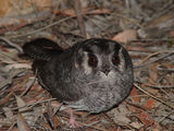 Picture relating to Mount Majura - titled 'Australia Owlet-Nightjar'