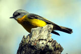 Picture relating to Nymboida - titled 'Eastern yellow robin'