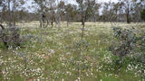 Picture relating to Mount Ainslie / Majura Nature Reserve - titled 'A field of wildflowers on the Mount Ainslie / Majura Nature Reserve'