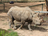Picture relating to Dubbo - titled 'Rhino at Dubbo Zoo'