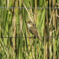 Picture relating to Barcaldine - titled 'Australian reed-warbler '