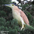 Birds of Phillip Island - #8 - Rhyll and Rhyll Inlet Nankeen Night Heron, Rhyll, Phillip Island, VIC
