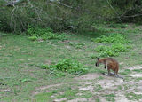Picture relating to Eurobodalla National Park - titled 'Swamp Wallaby in Eurobodalla National Park'