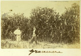 Picture relating to Gracemere - titled 'Prickly pear hedges on the property at Gracemere, Queensland'