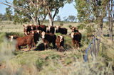 Picture relating to Maneroo - titled 'Maneroo Cattle'