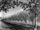 Picture relating to Yarralumla - titled 'Rows of flowering trees at Yarralumla Nursery'