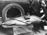 Picture relating to Brisbane - titled 'Large fish on the back of a motor car, 1938'