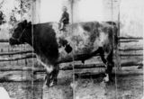 Picture relating to Nanango - titled 'Young girl posing on top of a large bull at Two Mile Station, Nanango, Queensland'