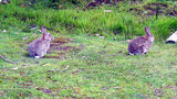 Picture relating to Dover - titled 'Wildlife Bruny Island Tasmania, Local Bunnies At Dinner.'
