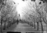 Picture relating to Yarralumla - titled 'Charles Weston standing beside flowering plum trees at Yarralumla Nursery'