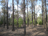 Picture relating to Braemar State Forest - titled 'Braemar State Forest - trees'