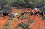 Picture relating to Paynes Find - titled 'Feral goats near Paynes Find WA'