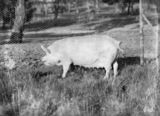 Picture relating to Federal Highway - titled 'Large White sow [ pig] at the Government hog farm, Federal Highway, Watson.'