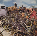 Picture relating to Glass House Mountains - titled 'Picking pineapples on a plantation in the Glass House Mountains in 1956'