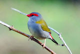 Picture relating to Nymboida - titled 'Red browed finch'