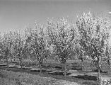 Picture relating to Yarralumla - titled 'Flowering peach trees in bloom, Yarralumla Nursery.'