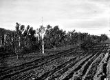 Picture relating to Acton - titled 'Orchard - Peach trees with height indicators, Acton Nursery.'