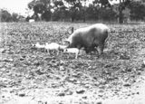 Picture relating to Watson - titled 'Large white sow and piglets at Government hog farm, , off the Federal Highway, Watson.'