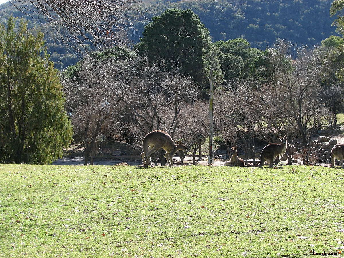 Picture of / about 'Yarralumla' the Australian Capital Territory - Kangaroos in Weston Park