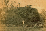 Picture relating to Mackay - titled 'Poinciana Regia on the Rawson property outside Mackay'