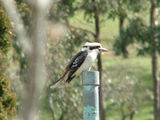 Picture relating to Yass - titled 'Laughing Kookaburra'