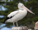 Birds of New South Wales - #1 - Tweed Coast Region Australian Pelican