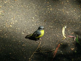 Picture relating to Black Mountain - titled 'Eastern Yellow Robin'