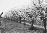 Picture relating to Yarralumla - titled 'Trees in blossom at Yarralumla Nursery'
