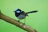 Picture relating to Kooragang Nature Reserve - titled 'Superb wren'