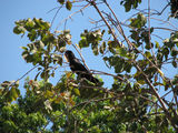 Picture relating to Kakadu National Park - titled 'Red-tailed Black Cockatoo'