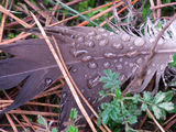 Picture relating to Belanglo State Forest - titled 'Feather with dew'