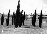 Picture relating to City Hill - titled 'Roman cypress trees on City Hill. Melbourne and Sydney Buildings, Civic Centre with Northbourne Avenue between.'