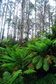 Picture of / about 'Dandenong Ranges National Park' Victoria - Mechanics Track