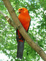 Picture of / about 'Batemans Bay' New South Wales - Australia King Parrot