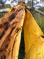 Picture relating to Murrumbateman - titled 'Split gum tree'