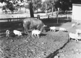 Picture relating to Watson - titled 'Large white sow and piglets at Government hog farm, off the Federal Highway, Watson.'