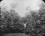 Picture relating to Atherton - titled 'Coffee plantation in Atherton'