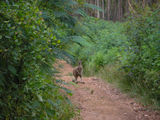 Picture relating to Porongurup National Park - titled 'Large Boomer Kangaroo '