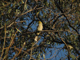 Picture relating to Yass - titled 'White Plumed Honeyeater'