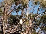 Picture relating to Arthur River - titled 'Arthur River - sea eagle'